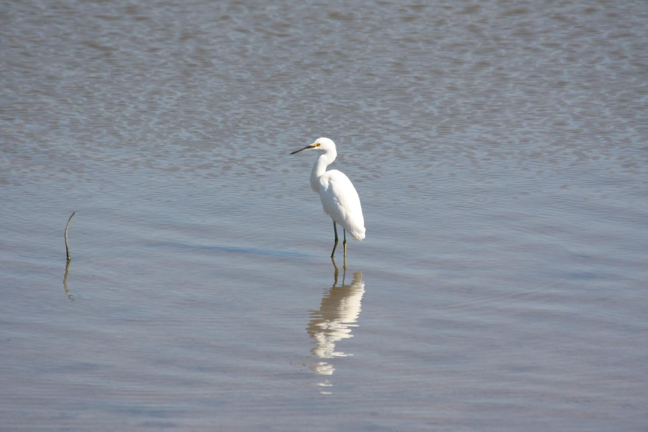 White Morph Egret