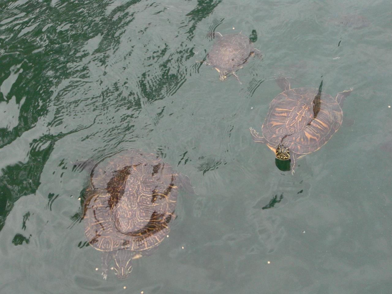 Feeding The Turtle's