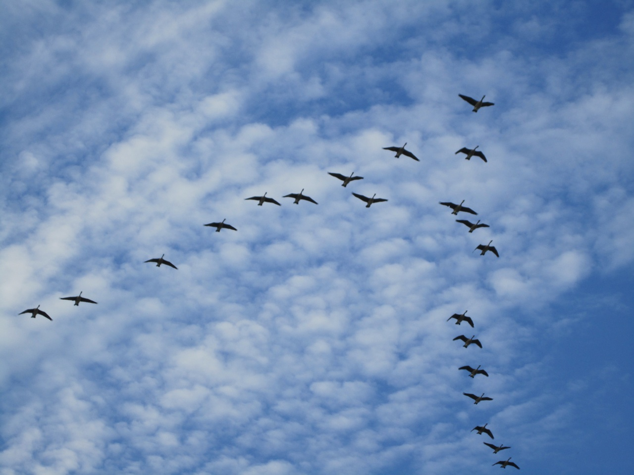 Canada Geese Flying Overhead With A Really Interesting Cloud Pattern.