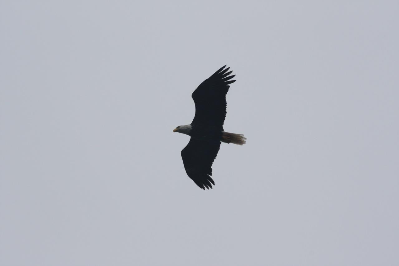 American Bald Eagle On Campobello Island, Canada