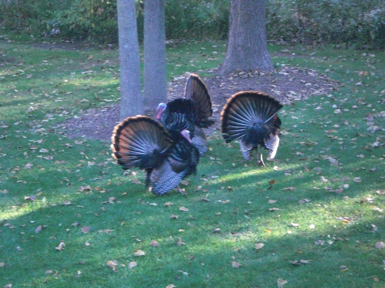Turkey's In Our Backyard.