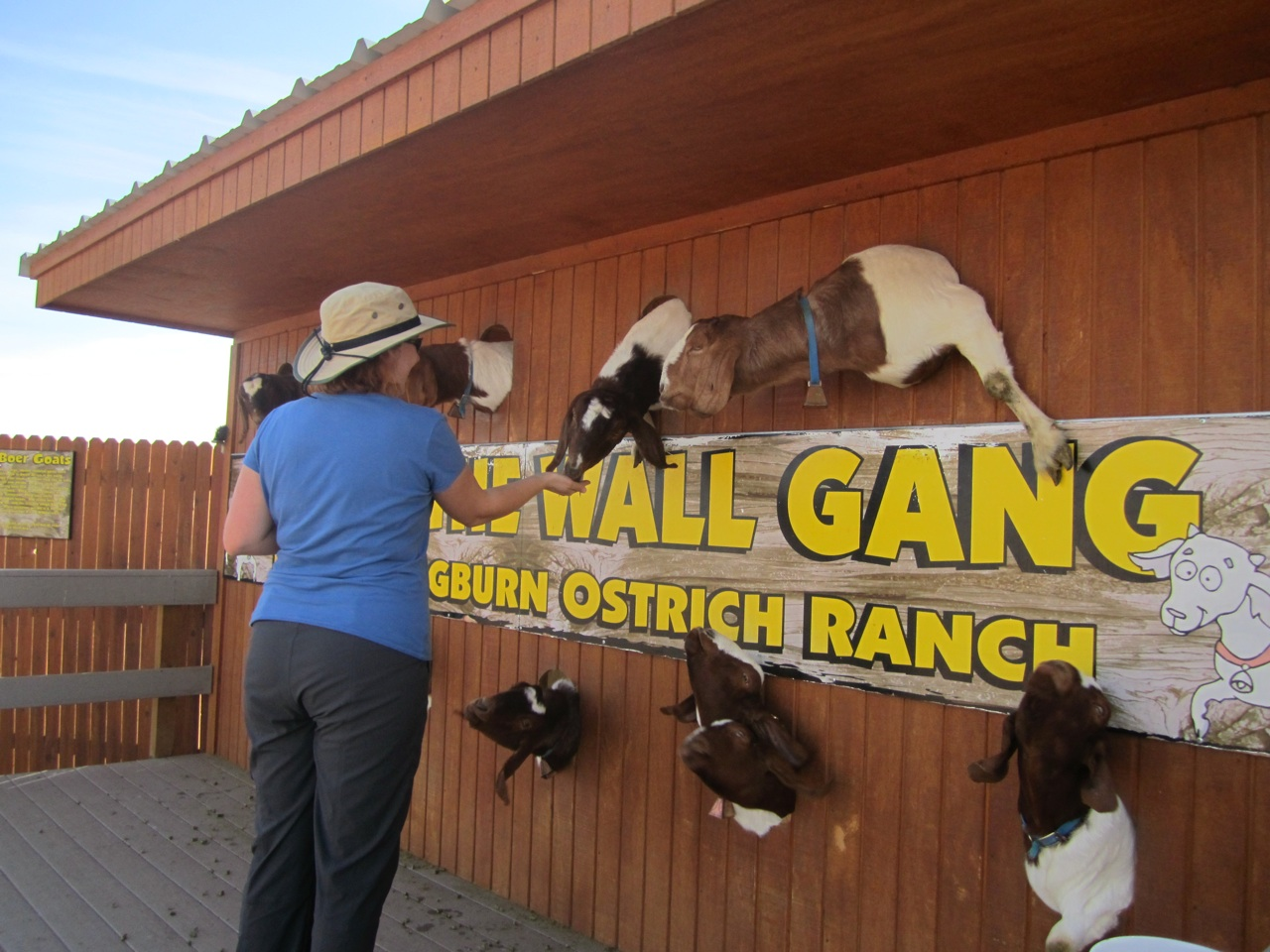 Brenda Feeding The Goats At The Hole In The Wall