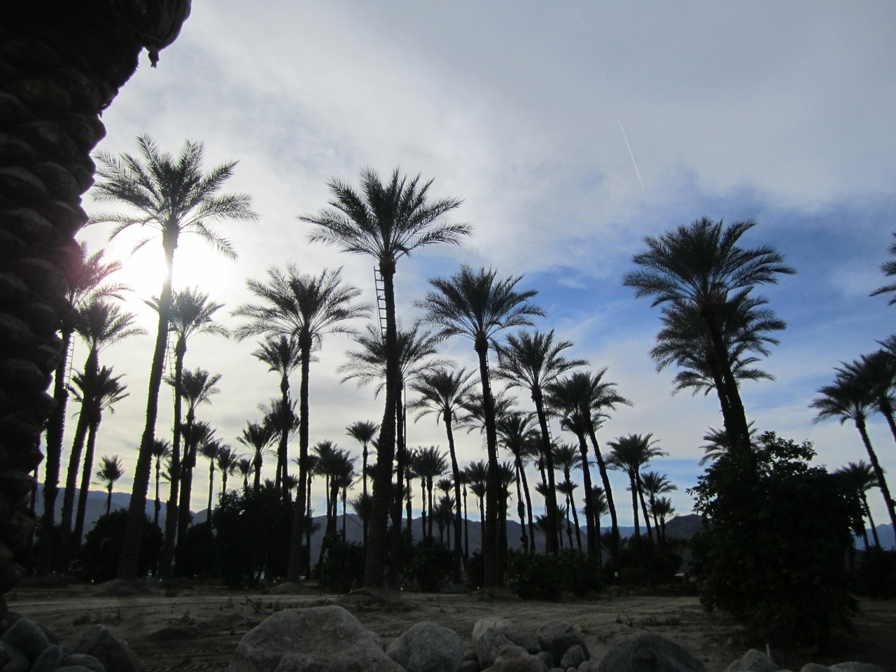 The Date Palms At Shields Date Garden In Indio, CA