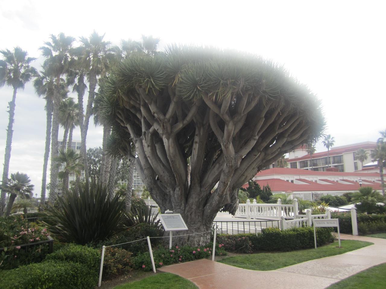 Tree On The Hotel del Coronado Grounds