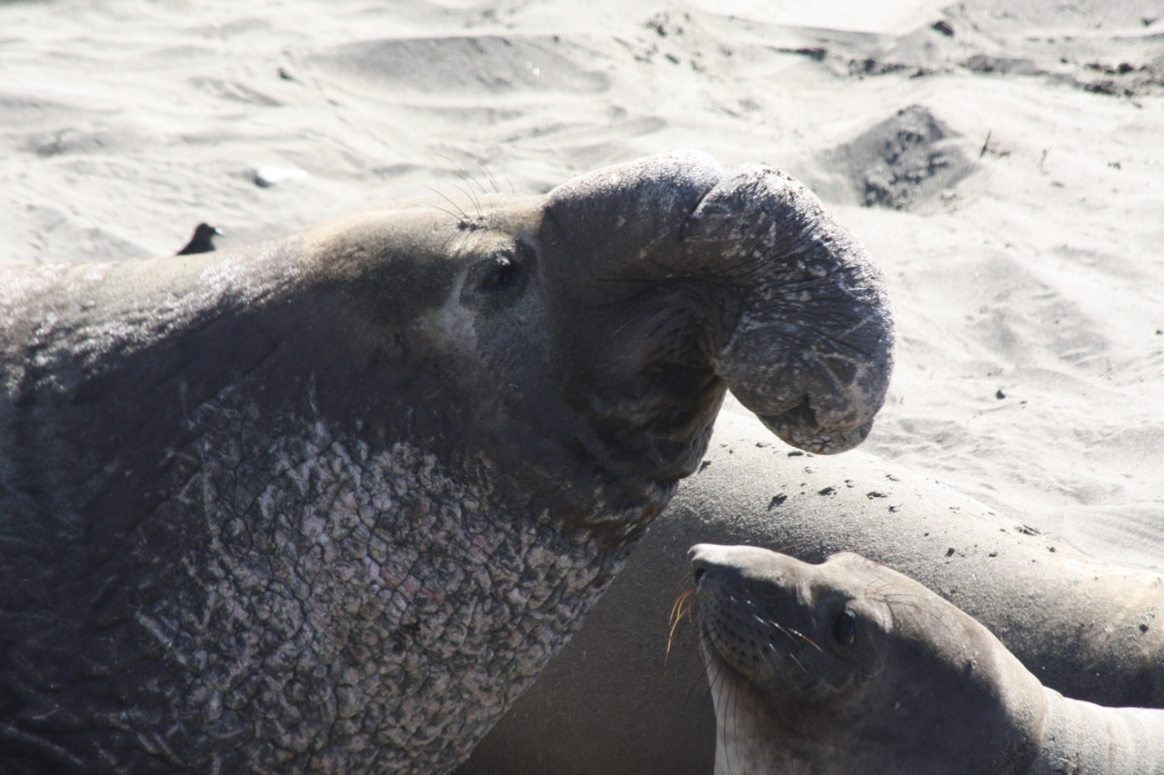 A Male Elephant Seal.  Only A Face A Mother Could Love.