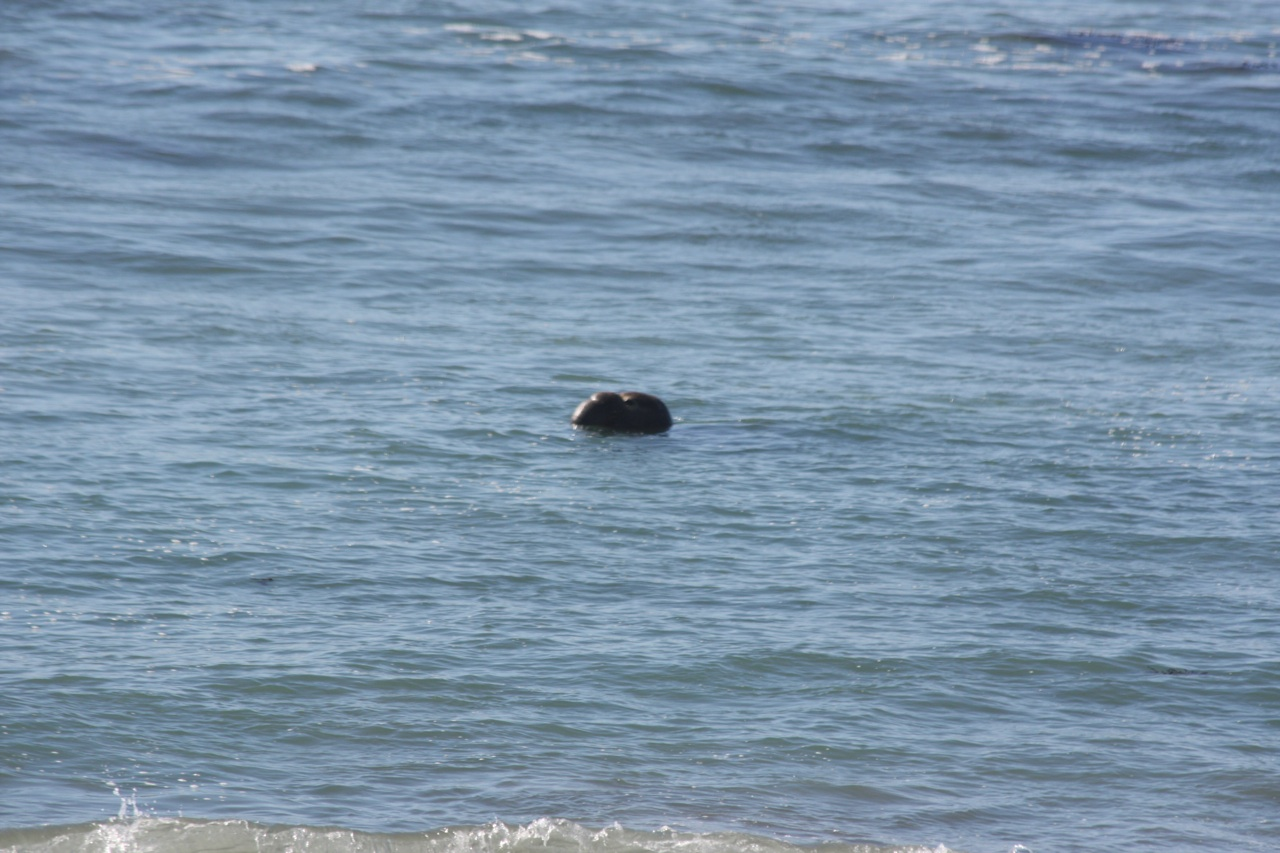 An Elephant Seal Taking A Swim