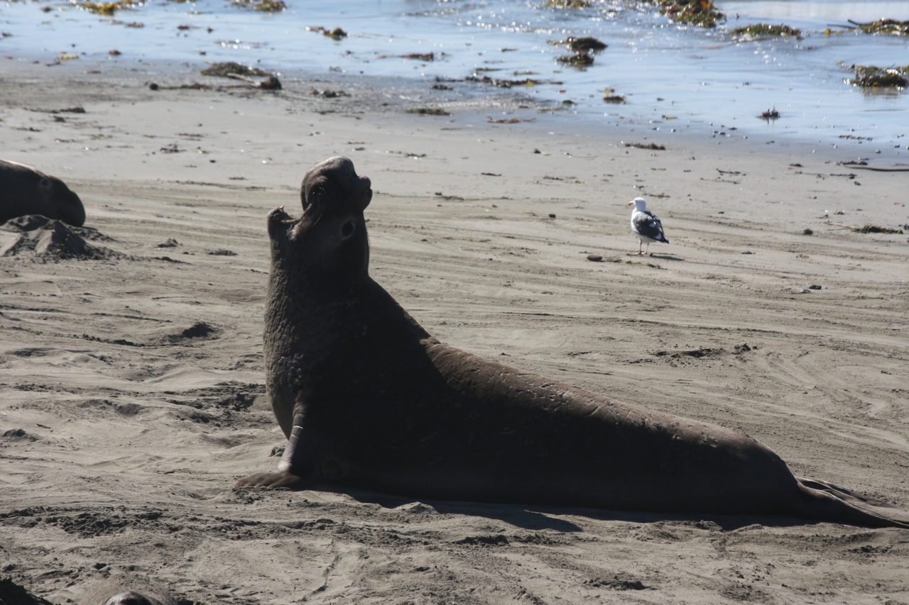 A Male Elephant Seal
