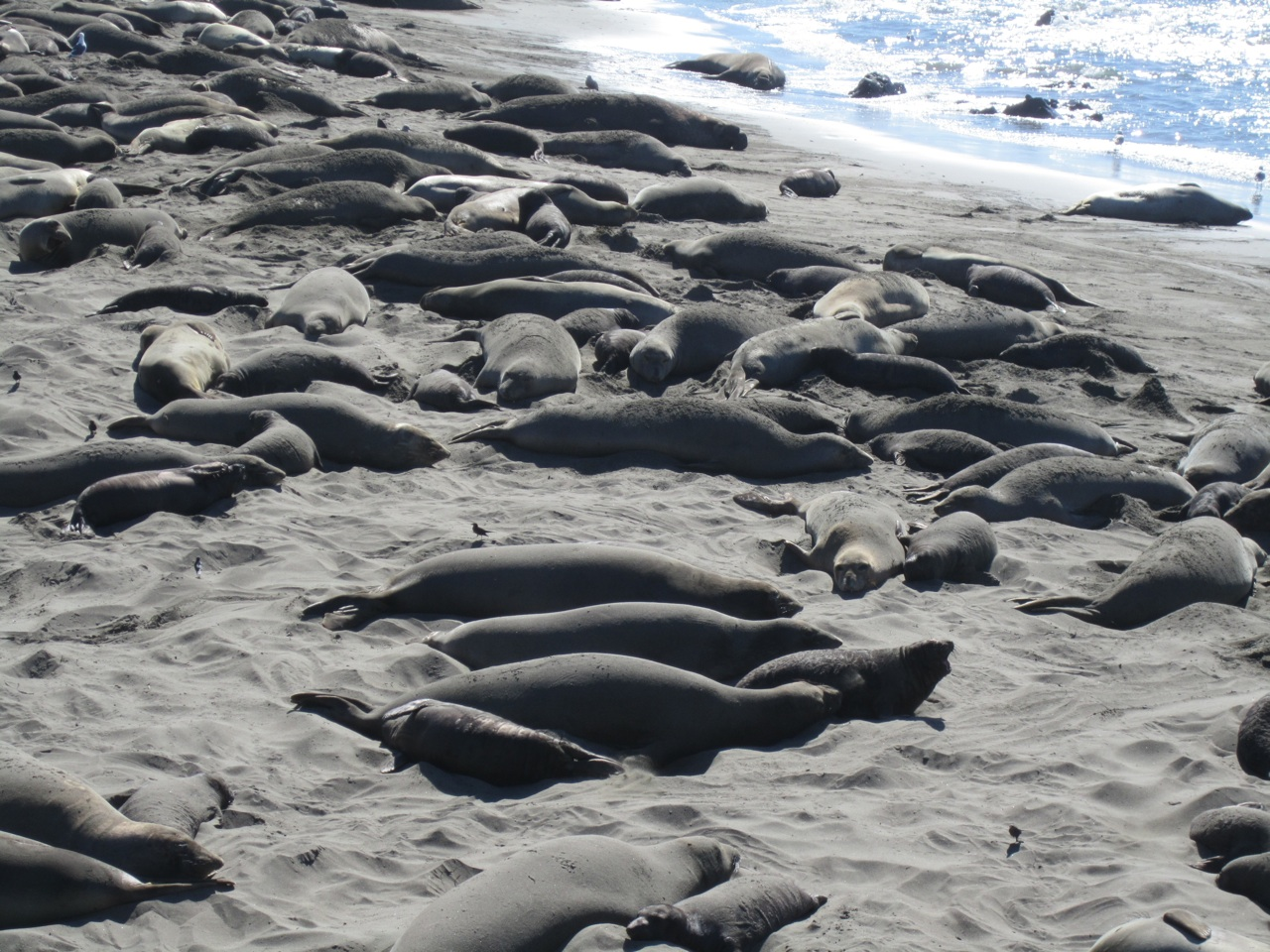 Elephant Seals On The Beach