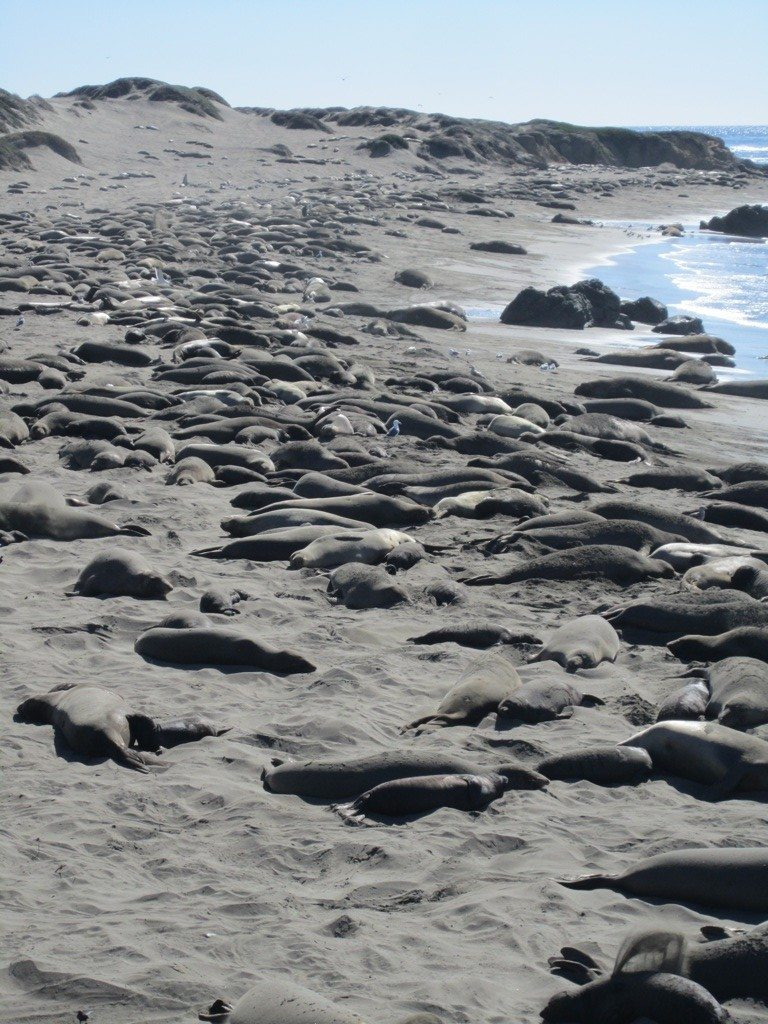 The Elephant Seals Breeding Ground On The Central California Coastline