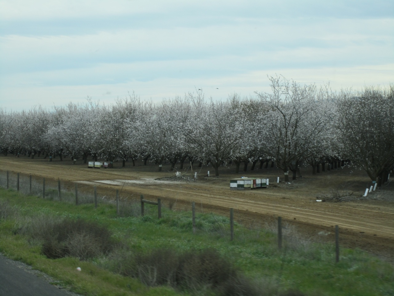 Almond Trees In Full Bloom With Bees Hives Next To Them For Pollination.