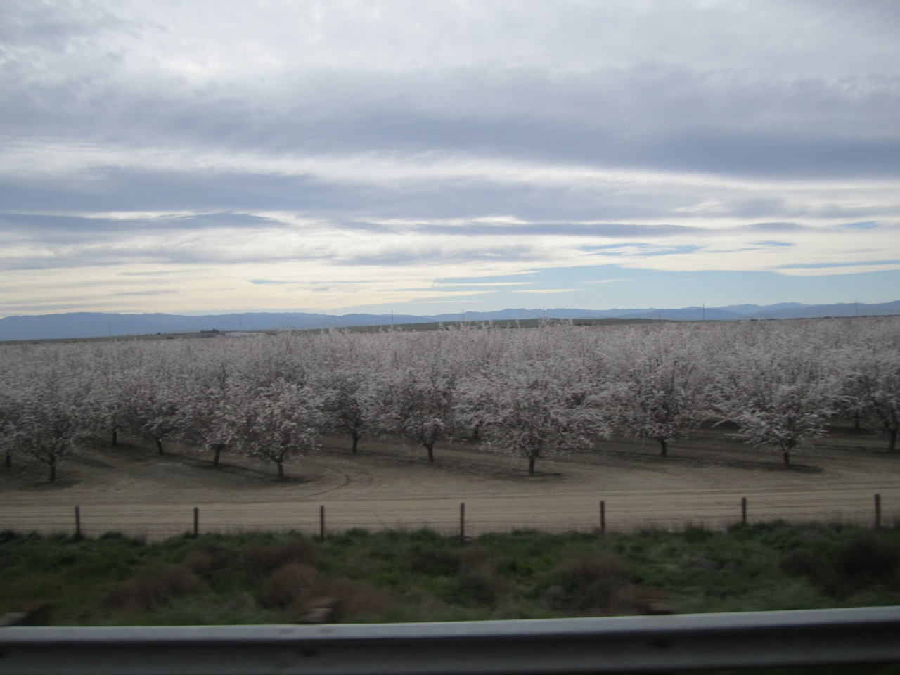 The Almond Trees In Full Bloom