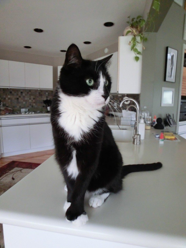 Yup...BK Is Not Supposed To Be On The Kitchen Counter Top.  But I Had To Take This Cute Photo Before I Got Him Off