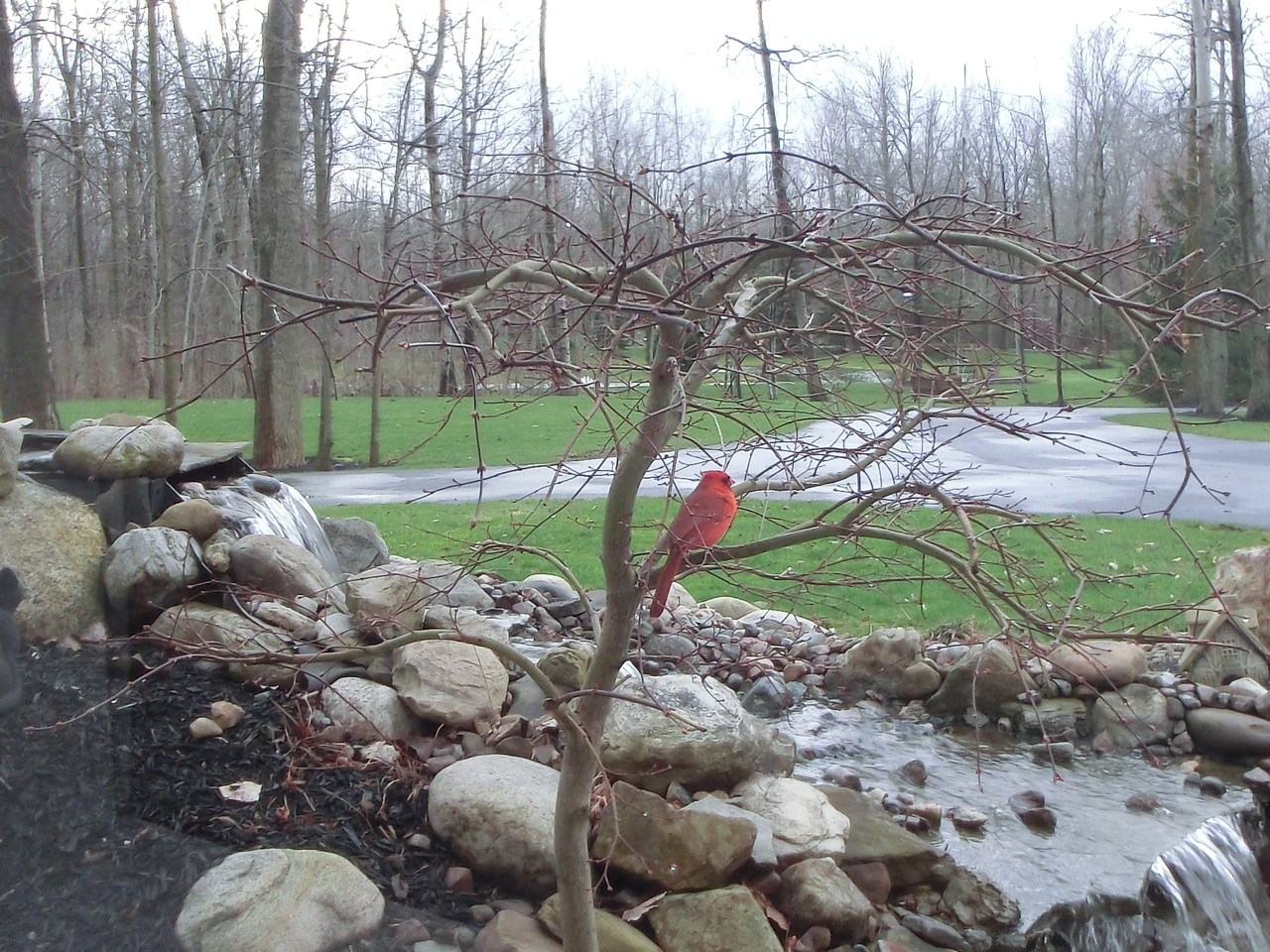 Looking Out Our Bedroom Window Was A Beautiful Cardinal