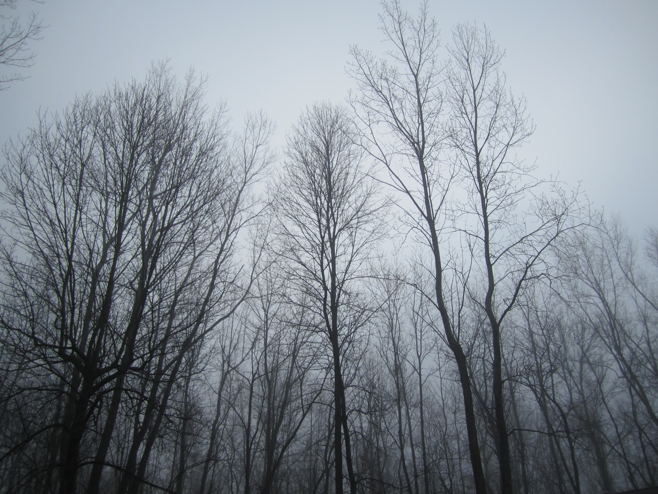 Tree Tops In The Fog
