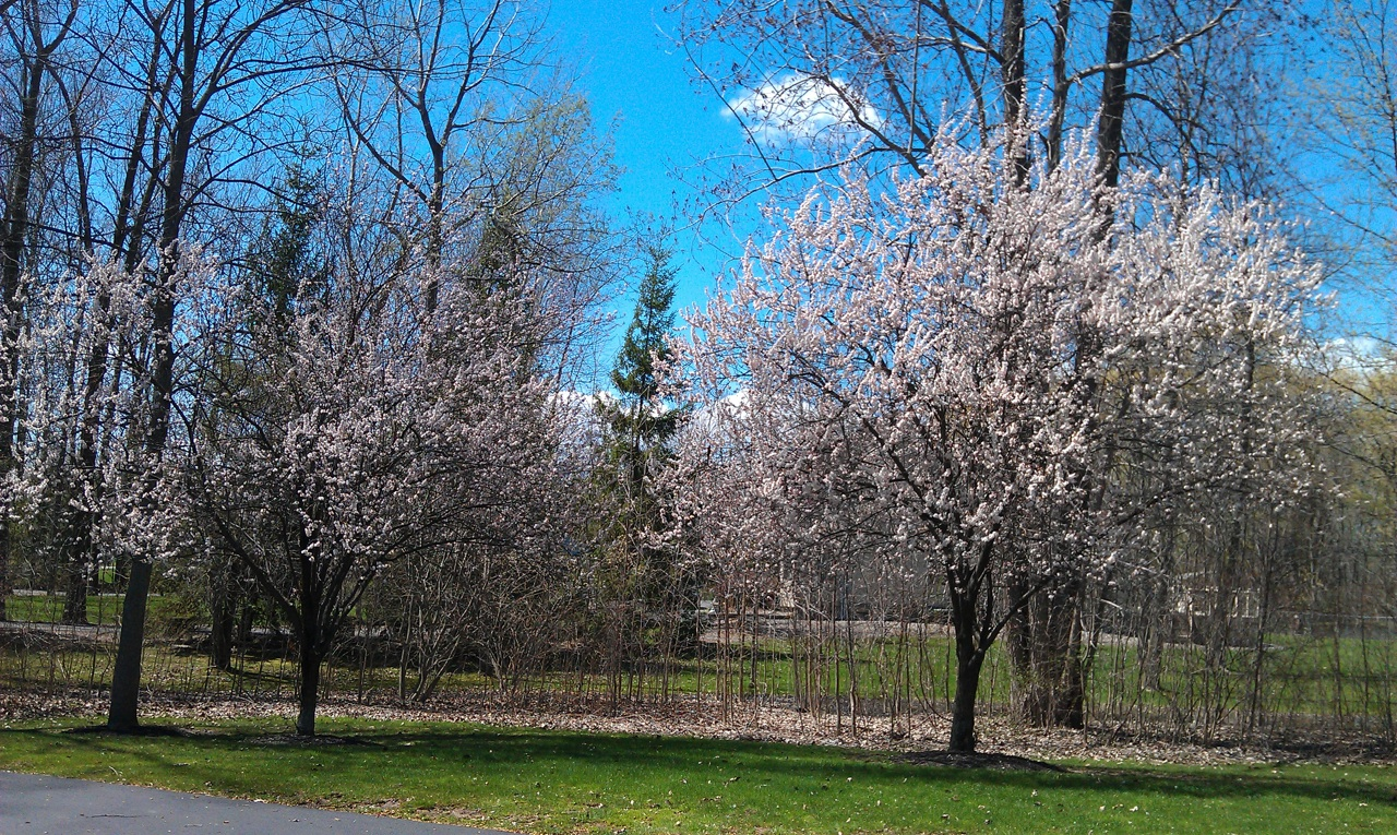 The Trees Have Their Blooms