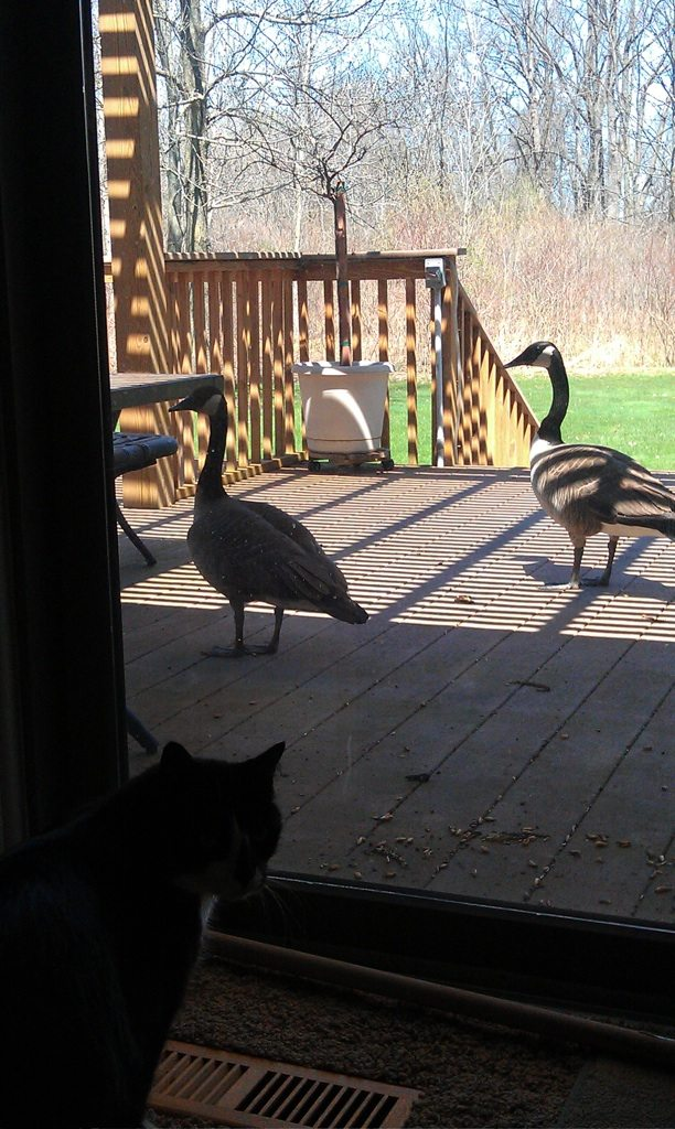 Canada Geese Getting Bold And Walking Around On Our Back Deck