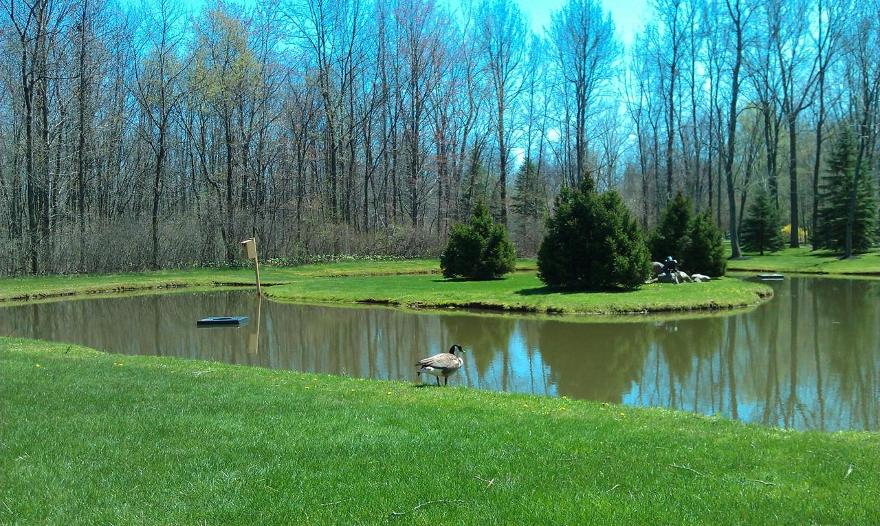 Canada Goose Enjoying The Pond