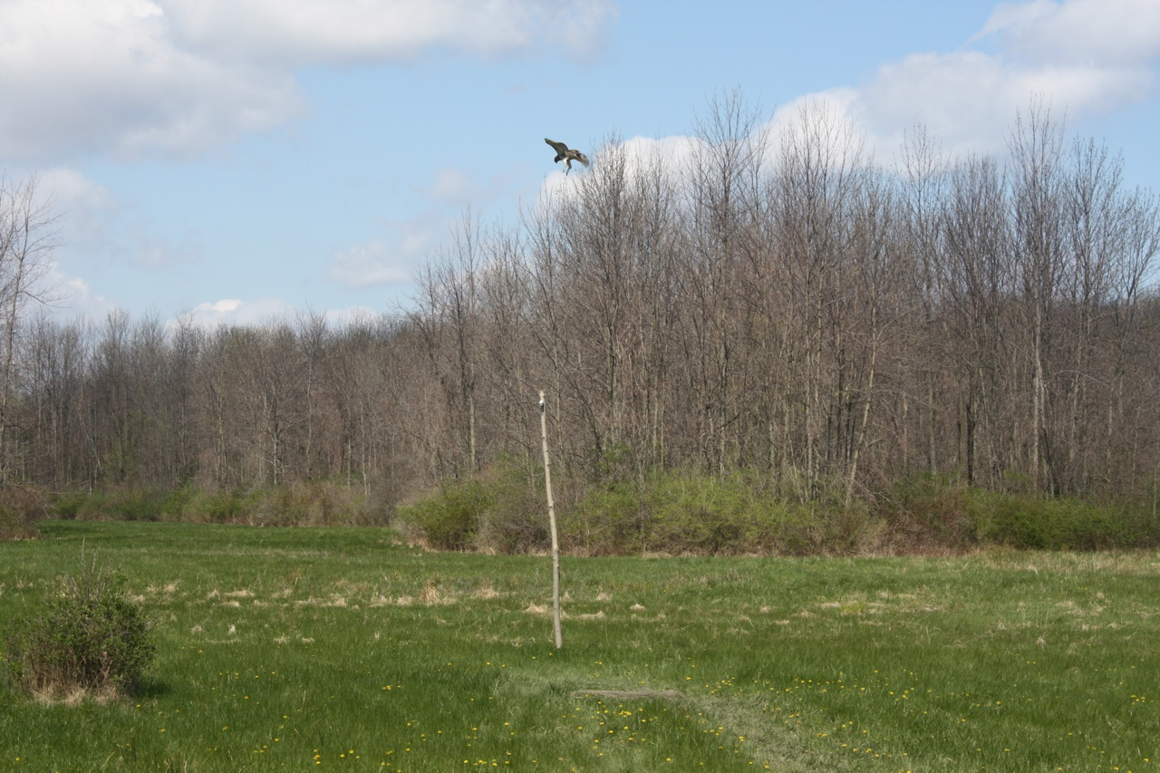 A Hawk Flying Around, Checking Out The Bait