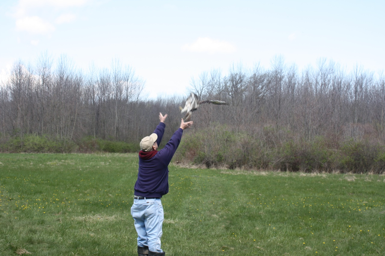 The Red Tailed Hawk Being Released After Banding