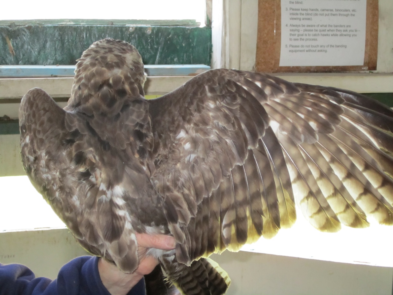 The Volunteer Showing Us The Back Of A Juvenile Red Tailed Hawk