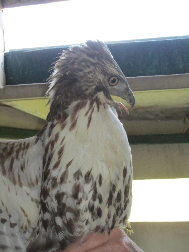 The Second Juvenile Red Tailed Hawk