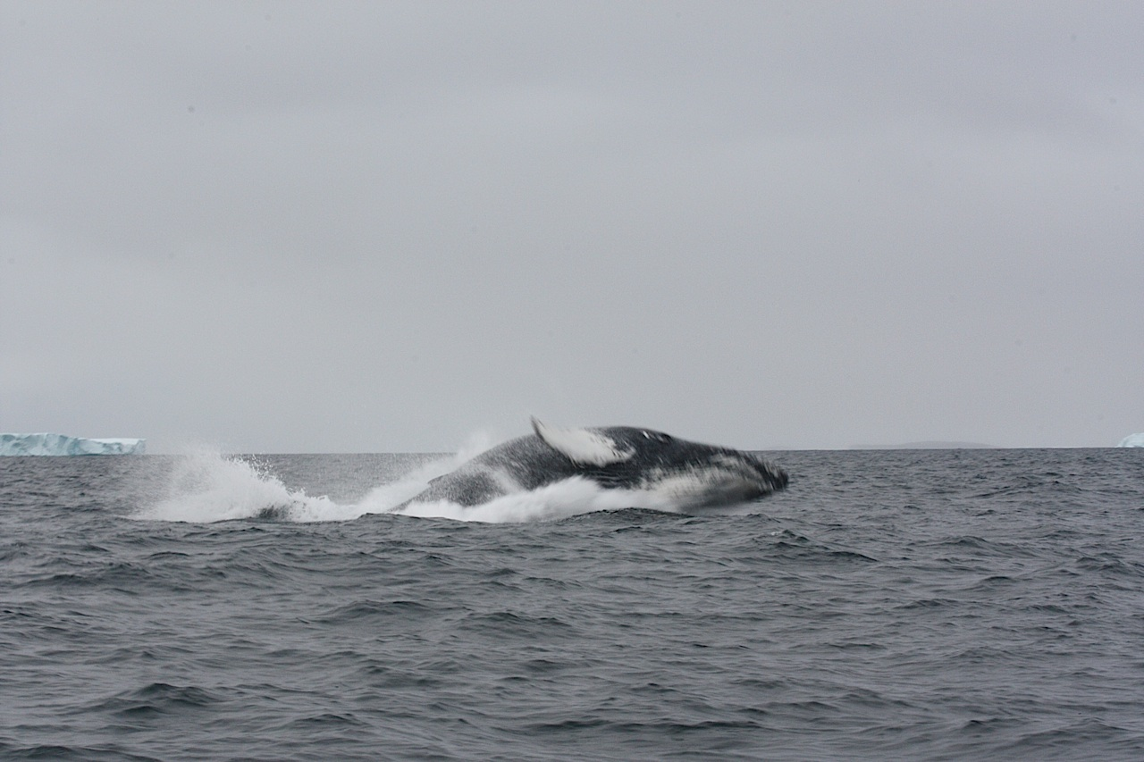 Humpback Whale Jumping Out Of Water Right By Our Boat!