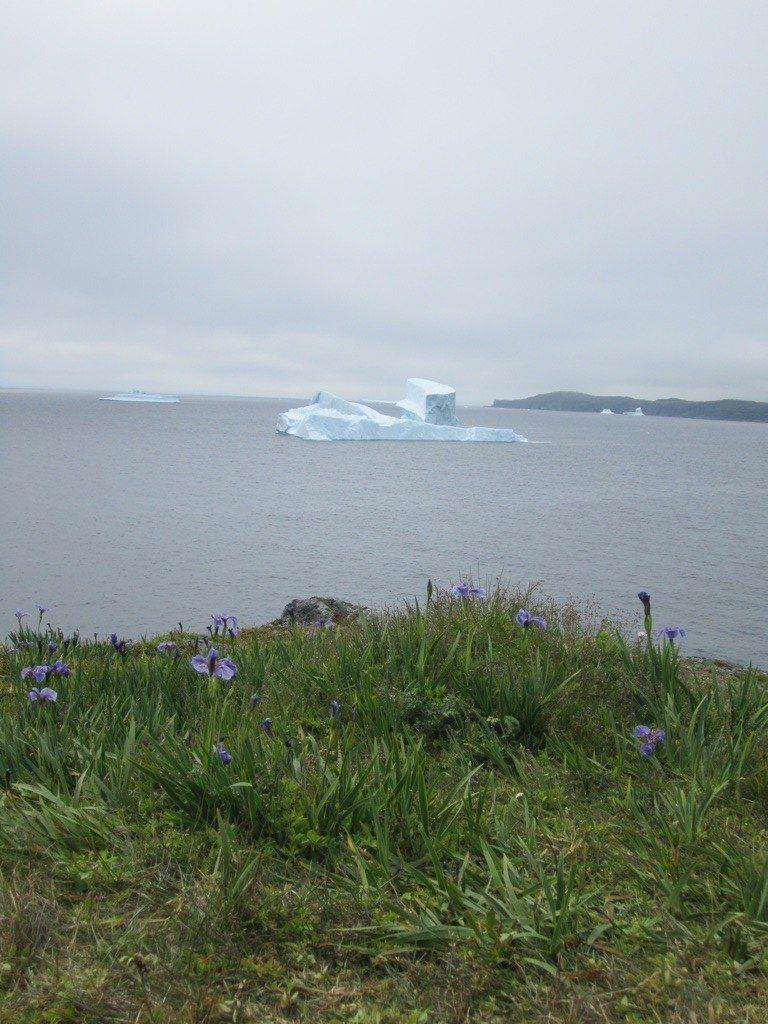 Icebergs Sitting In Goose Cove Bay