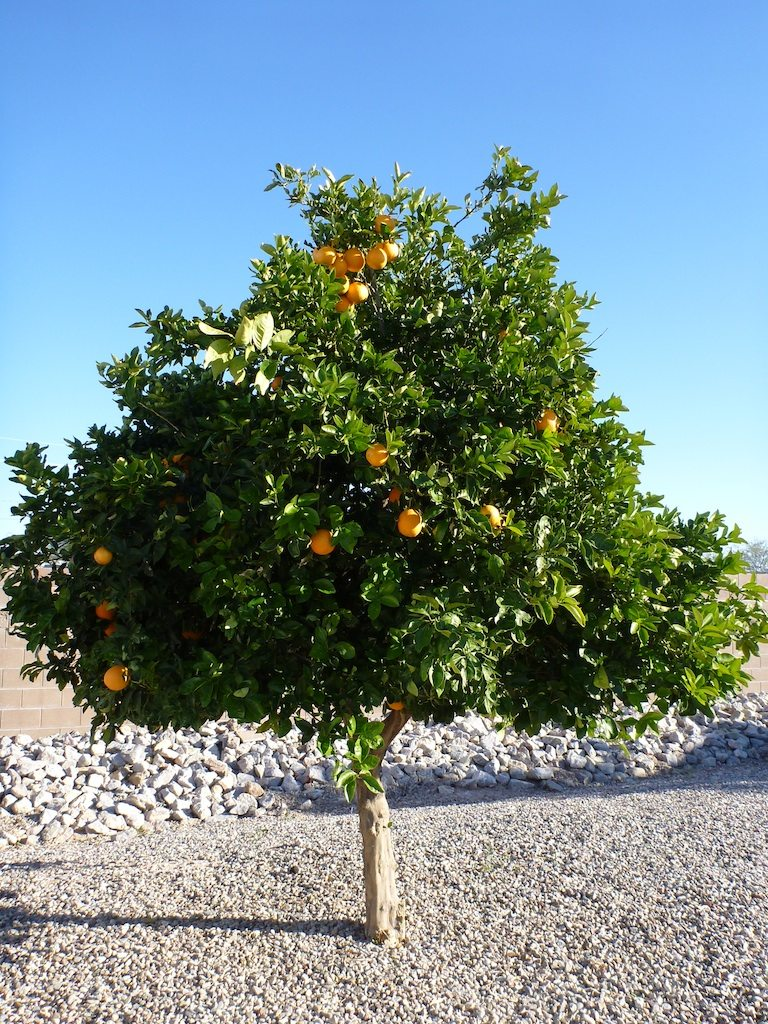 Orange And Grapefruit Trees Are All Over The Park