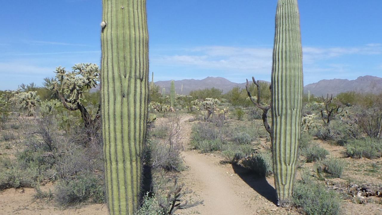 A Large Saguaro Cactus Along The Trail