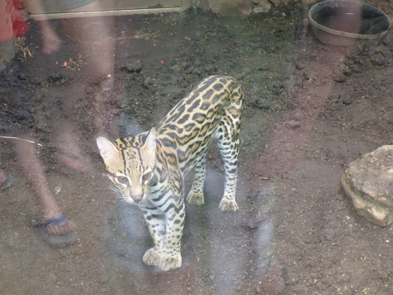 The Ocelot At The Zoo
