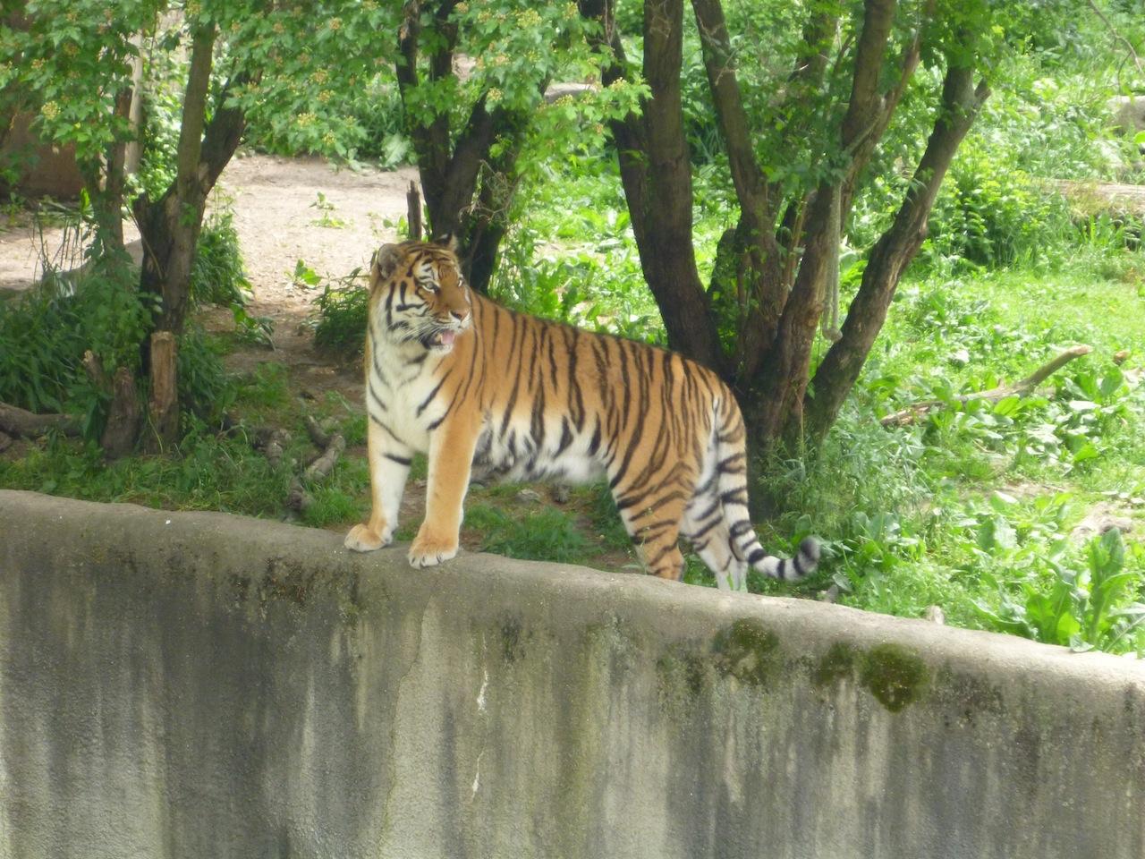 A Tiger At The Zoo