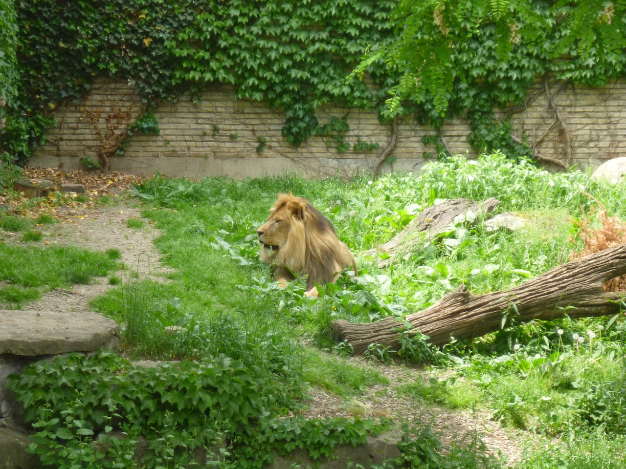 The Lion At The Zoo
