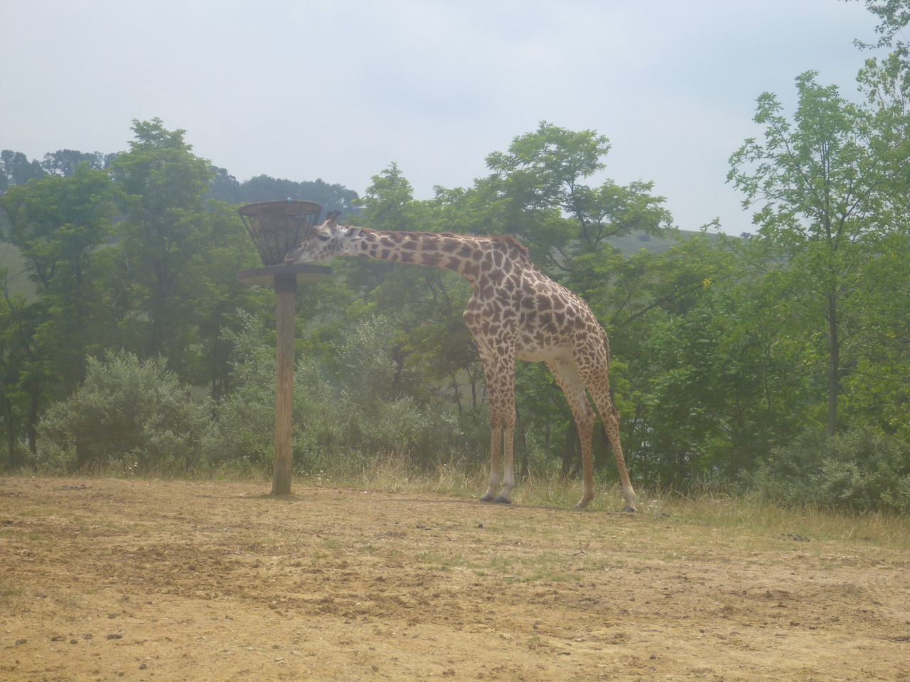 A Giraffe Having Lunch At The Wilds