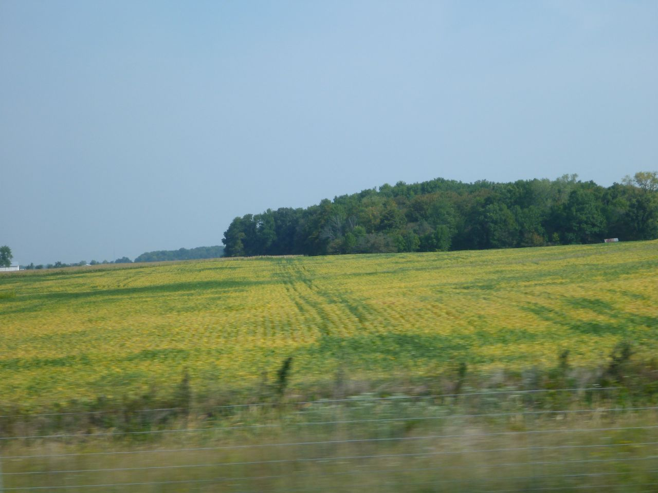 All The Yellow Is Dead Corn Stalks