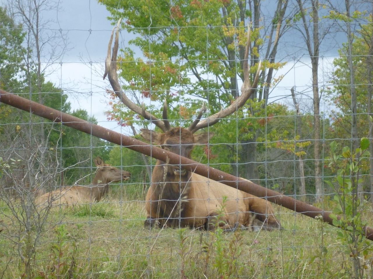 A Bull (Male) Elk Staring Me Down