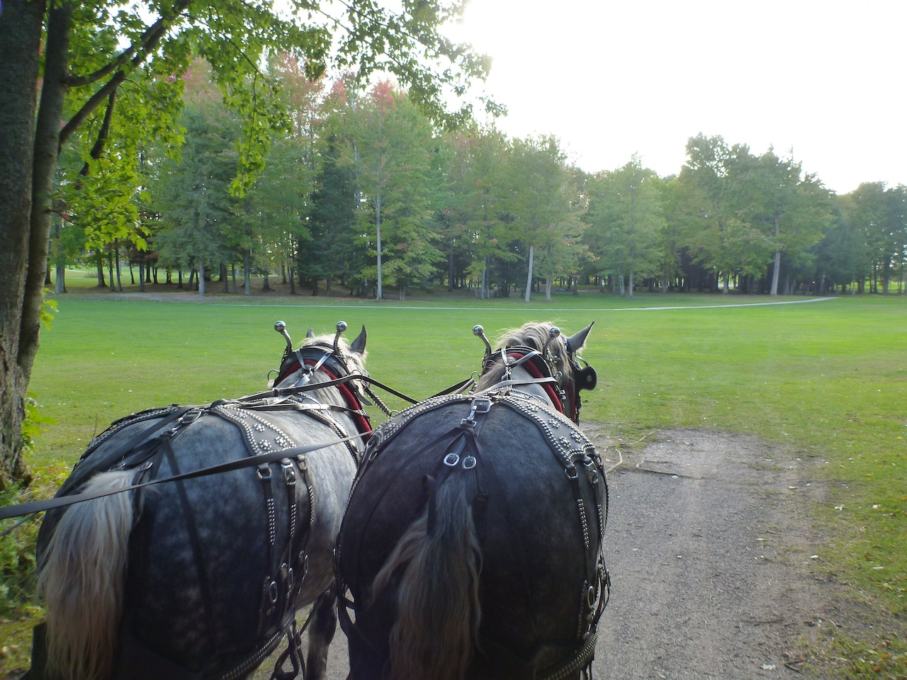The Horse Drawn Carriage Runs Through The Golf Course