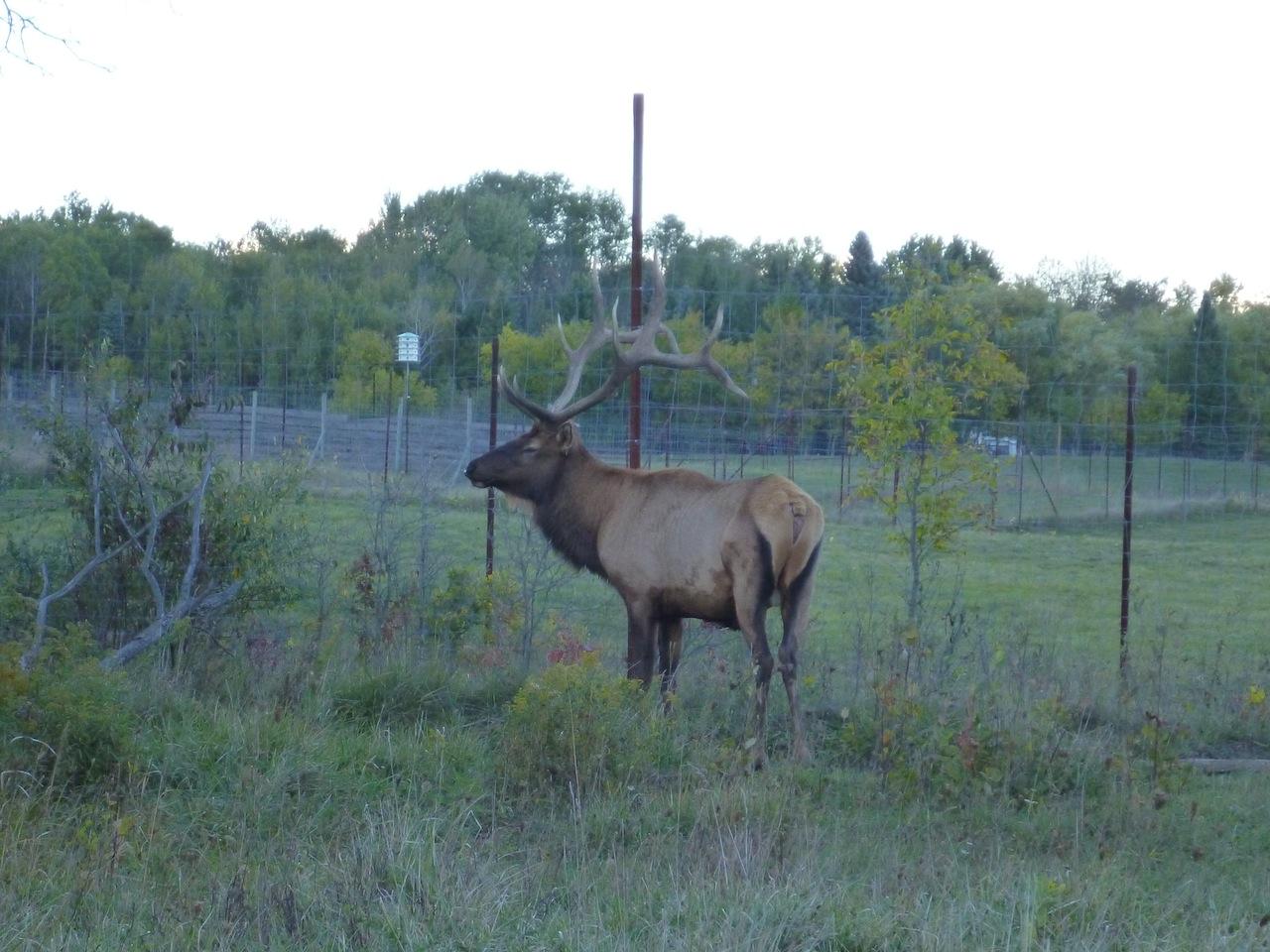 A Bull (Male) Elk