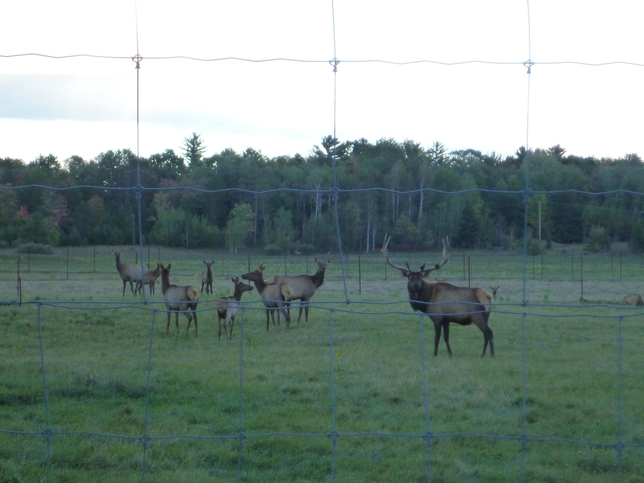 A Bull (Male) Elk And All His Female Cows (Female) Elk.