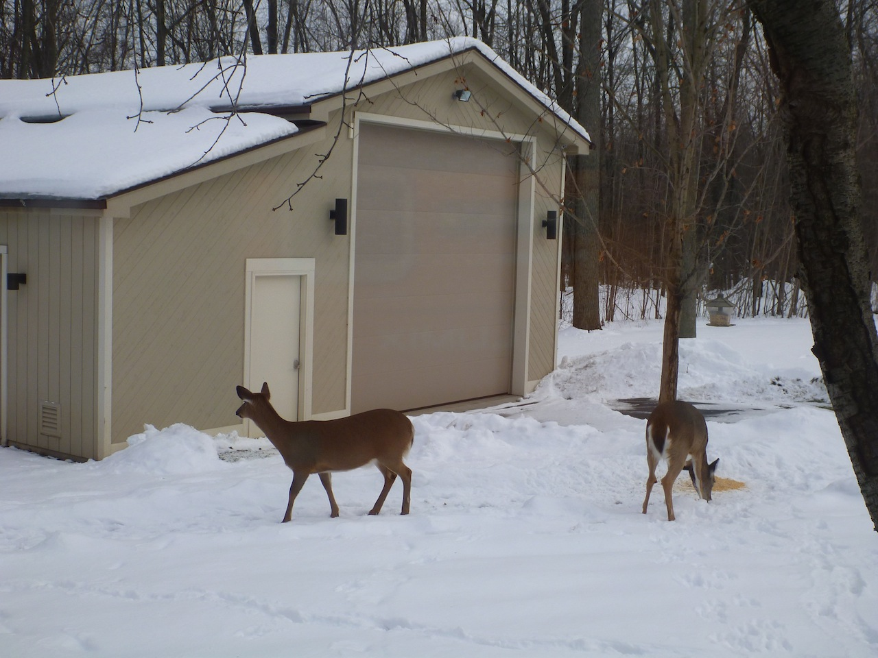 Deer Eating Some Cracked Corn Outside Our Motorhome Garage.