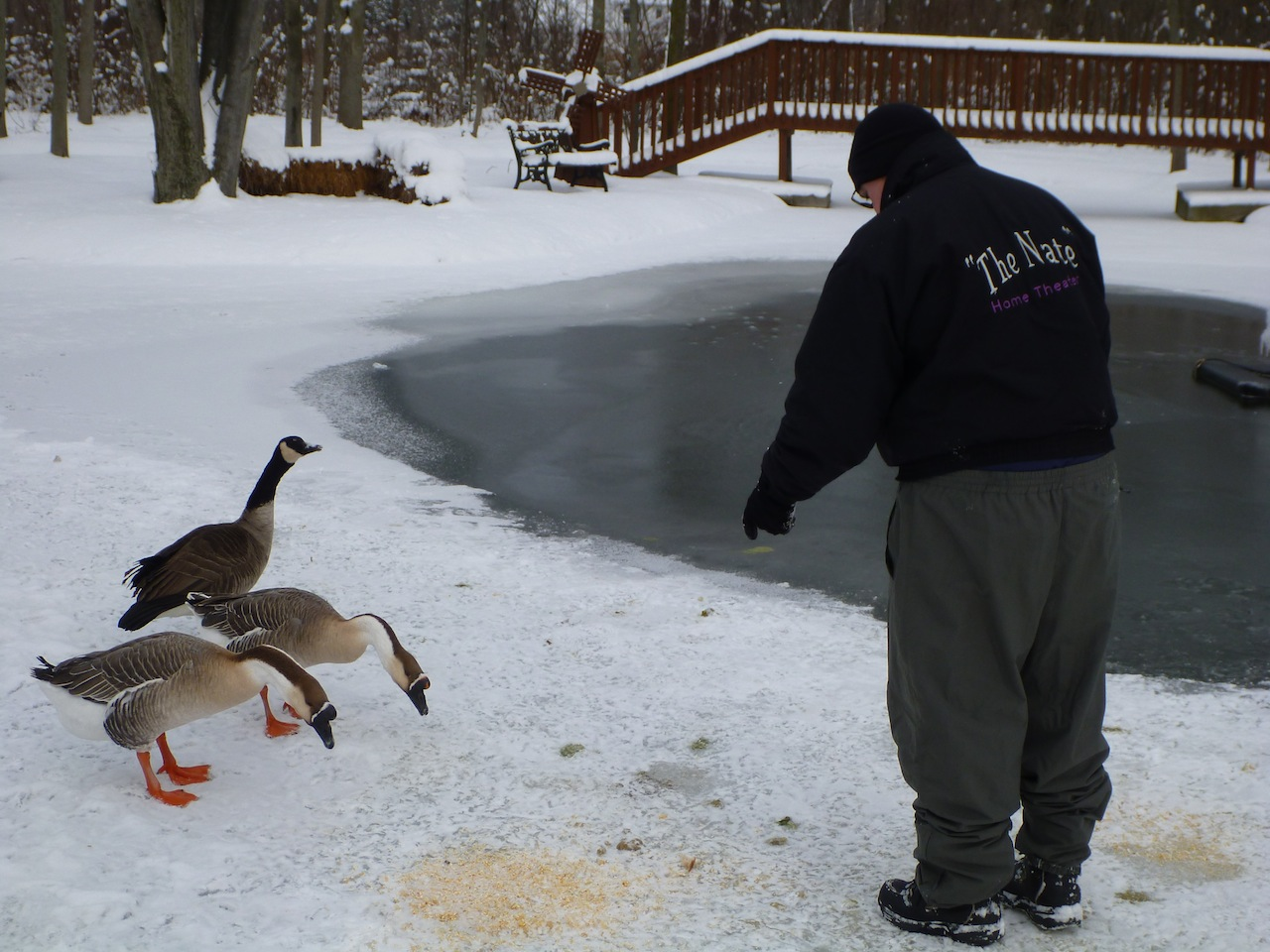 David Feeding The Neighborhood Geese. Two Chinese Geese and One Canada Goose.