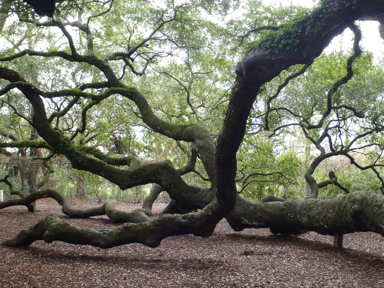 The Angel oak Tree's Heavy Branches Rest On The Ground