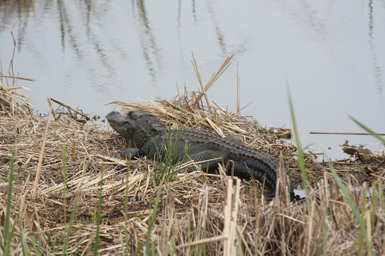 American Alligator Up Close Using The 300mm Image Stabilizing Lens
