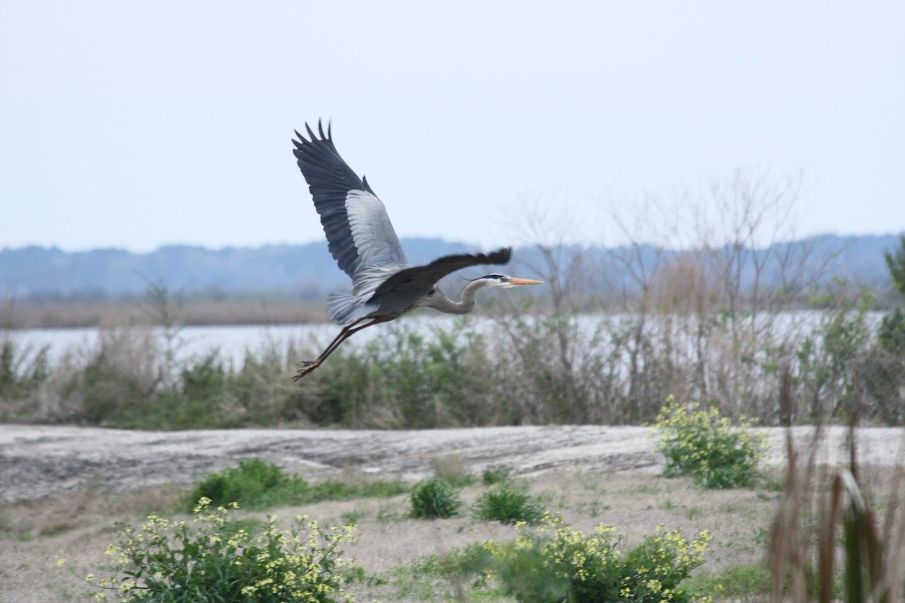 Great Blue Heron Flying Away