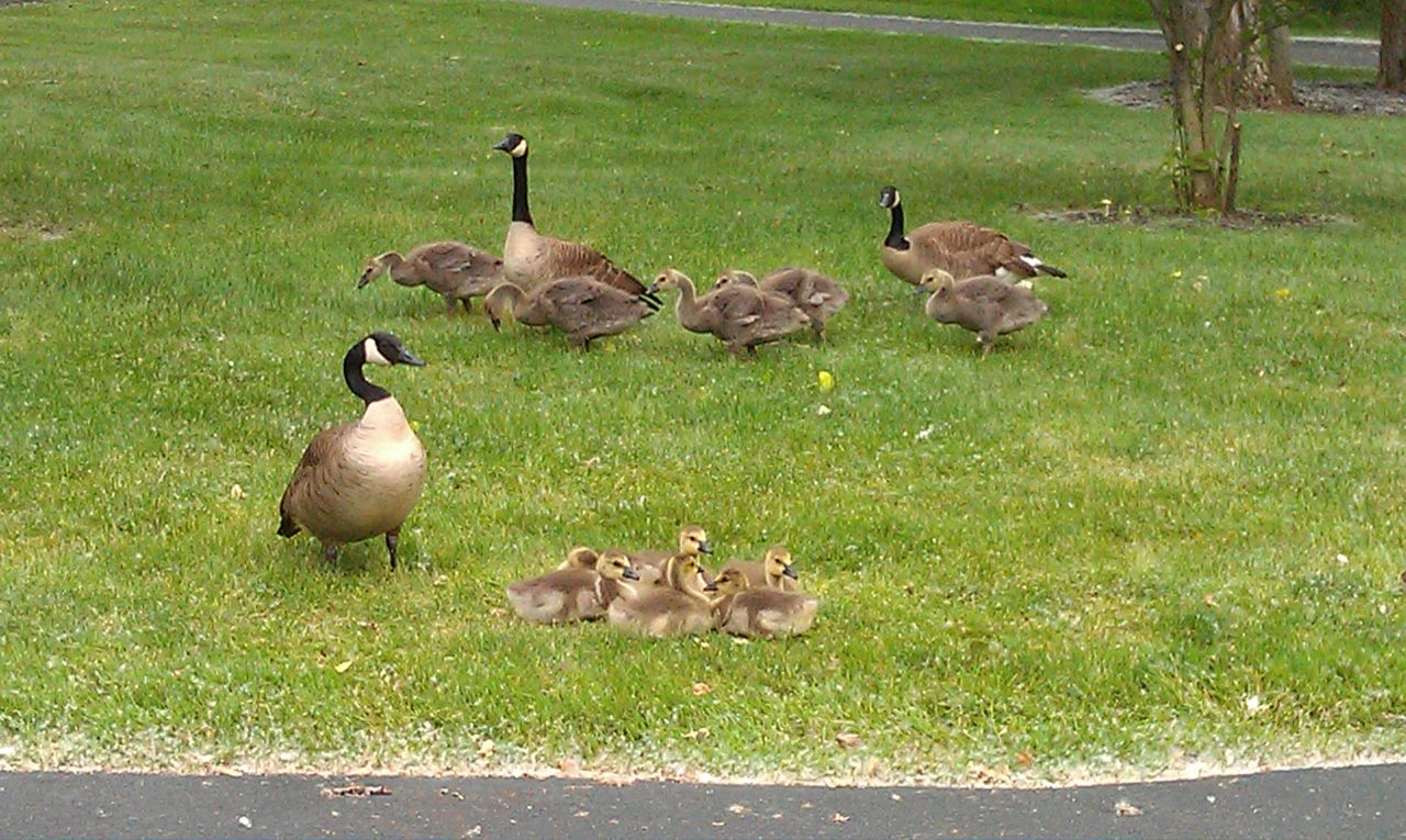 The Geese And Their Babies