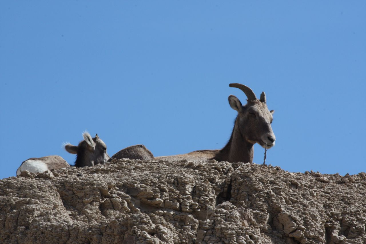 Big Horn Sheep Lamb and Ewe In The Badlands