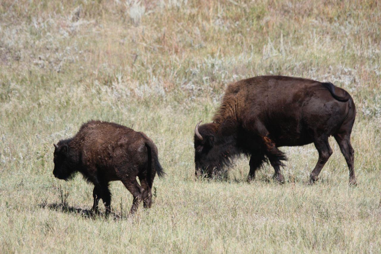Bison Roaming Inside Custer State Park