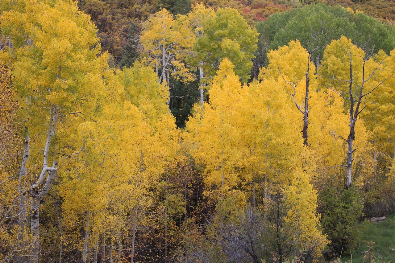 Aspens In Full On Fall Color